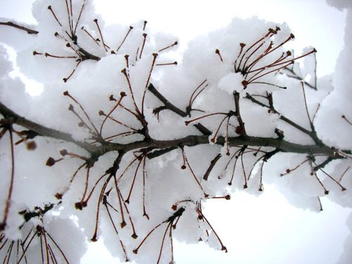 The soft snow covering a flowering crabapple tree