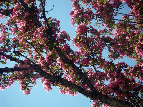 The view through my sun roof of a flowering crab-apple tree