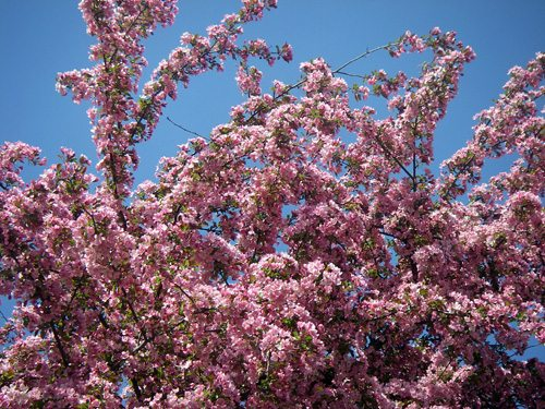 A flowering crabapple tree