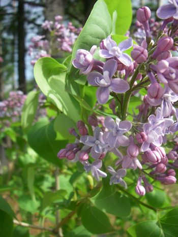 The blooms on my lilac bushes have opened